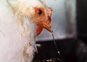 penyakit pilek pada ayam, penyakit ayam kampung, penyakit ayam aduan, jenis penyakit ayam kampung, penyakit ayam broiler, penyakit ayam pedaging, penyakit ayam kalkun
