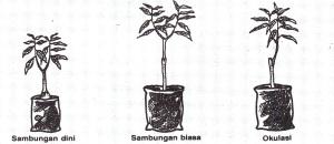 bibit mangga manalagi, buah mangga manalagi, harga mangga manalagi