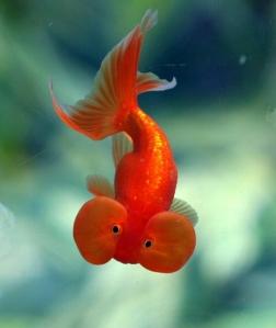 ikan maskoki mata balon, ikan maskoki mata belo, ikan mas koki hilang, mata ikan mas koki lepas