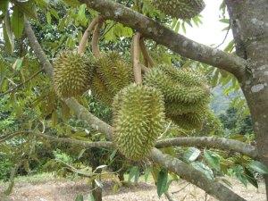 pohon durian cepat berbuah, pohon durian monthong, pohon durian bawor, pohon durian montong, nama latin durian, tentang durian, sầu riêng, sau rieng