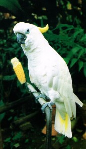 penangkaran burung kakatua, harga burung kakatua, burung kakatua dijual, burung kakatua jambul kuning, burung kakatua putih
