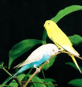 perbedaan burung parkit jantan dan betina, burung parkit putih burung parkit jambul, cara ternak burung parkit, ternak burung parkit, harga burung parkit