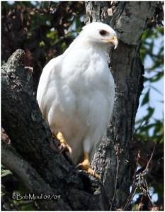 binatang albino, hewan albino, memelihara albino, hawk albino