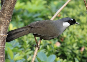 garrulax chinensis wiki, black-throated laughing thrush, poksay mantel, burung poksay mandarin, poksay mandarin mp3, poksay hitam, poksay mp3, poksay jambul, poksay mandarin