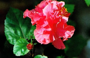hibiscus for hair, hibiscus benefits, hibiscus tea, hibiscus tea benefits, growing hibiscus, hibiscus uses