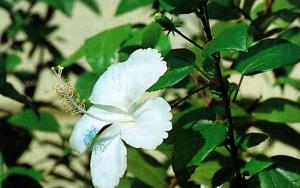 hibiscus benefits, hibiscus tea, hibiscus tea benefits, growing hibiscus, hibiscus uses
