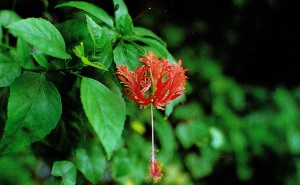 hibiscus types and names, hibiscus for hair, hibiscus benefits, hibiscus tea, hibiscus tea benefits, growing hibiscus, hibiscus uses