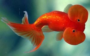 bubble eye goldfish care, bubble eye goldfish popped, bubble eye goldfish diseases, bubble eye goldfish lifespan, bubble eye goldfish facts, bubble eye goldfish for sale, bubble eye goldfish swimming upside down, bubble eye fish disease