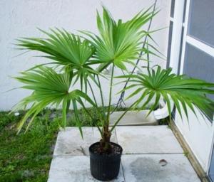 indoor palm identification, indoor palm tree care instructions, palem dalam ruangan, palem dalam pot, menanam palem dalam pot, cara menanam palem dalam pot