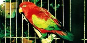 harga burung nuri kepala hitam, jenis burung nuri, makanan burung nuri, burung nuri in english, burung nuri untuk dijual, burung nuri jantan, makanan burung nuri irian