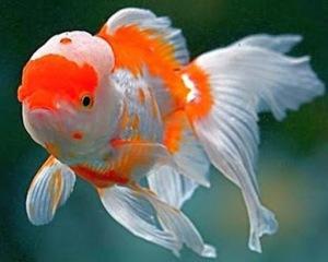 Jenis Jenis Ikan Mas