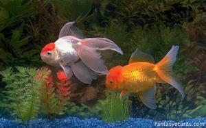 cara memijahkan ikan komet, memijahkan ikan nila, memijahkan ikan koi, memijahkan ikan lele, memijahkan ikan cupang, cara memijahkan ikan patin, cara memijahkan ikan mujair, cara memijahkan ikan lele secara alami