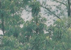 pohon sawo kecik, pohon sawo di depan rumah, pohon sawo duren, pohon sawo manila, pohon sawo belanda
