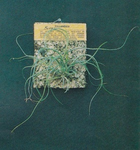tanaman hias tillandsia, tanaman tillandsia, jual tanaman tillandsia, tillandsia for sale