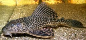 ikan pembersih akuarium, sucker catfish, janitor fish food, pleco suckermouth catfish, plecostomus hypostomus, plecostomus cat, armoured pleco