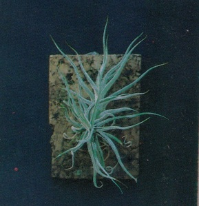 tillandsia care, tillandsia species, category tillandsia, tillandsia cyanea, tillandsia air plant, tillandsia wholesale, tillandsia propagation