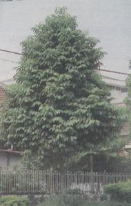 tanaman kenari seed, tanaman kenari pdf, tanaman kenari set, manfaat tanaman kenari