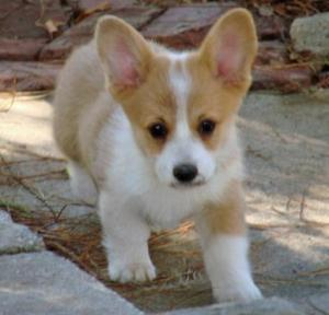 welsh corgi temperament, welsh corgi personality, welsh corgi youtube welsh corgi dogs 101, welsh corgi shedding, welsh corgi sulit