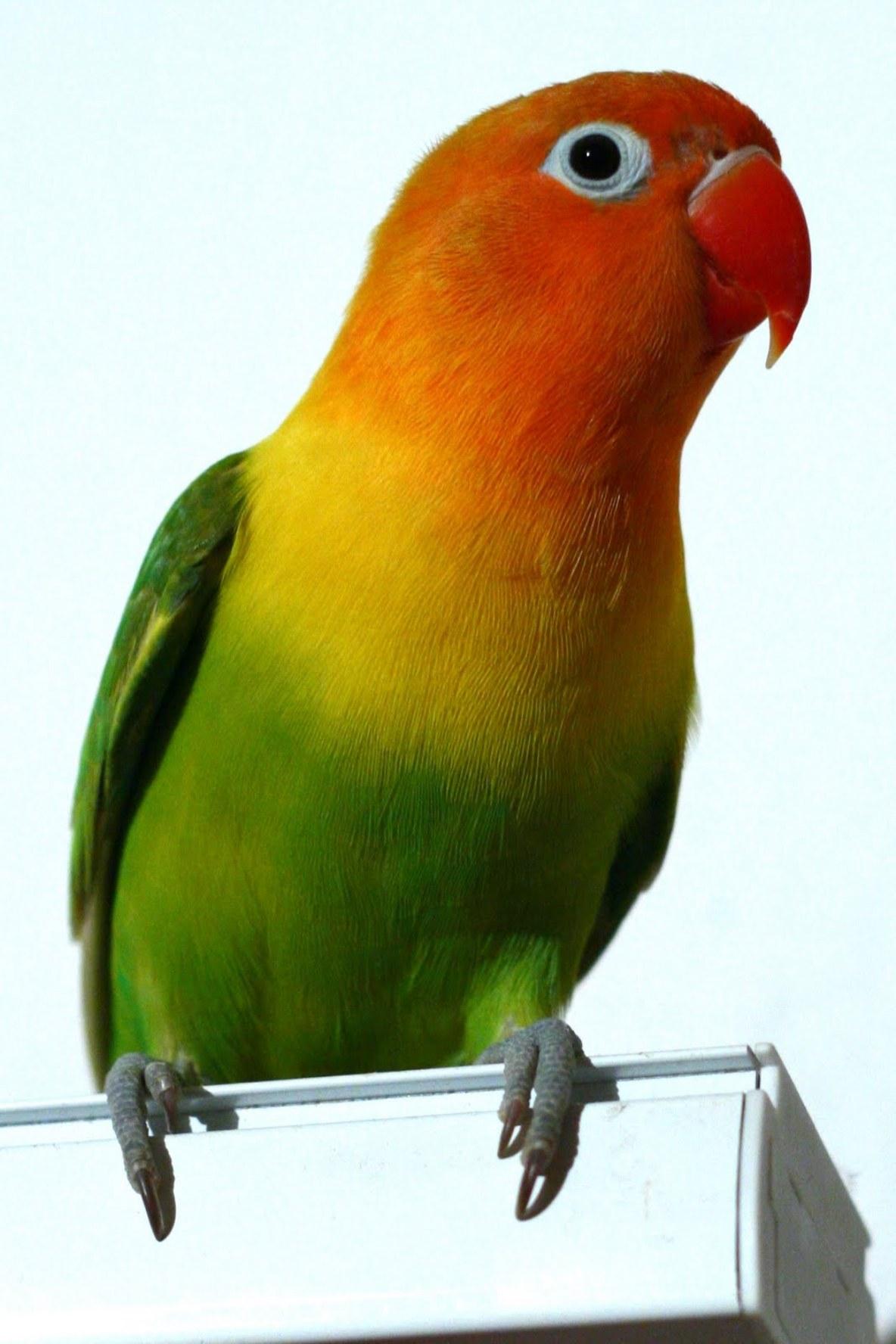78 Foto Gambar Burung Warna Kuning  Paling Unik Free
