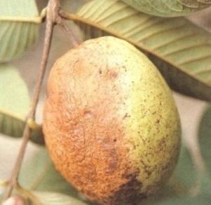 mengatasi penyakit tanaman jambu batu, penyakit tanaman jambu biji, penyakit tanaman jambu air, penyakit tanaman jambu biji, penyakit tanaman jambu, penyakit pada tanaman jambu bol