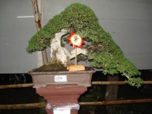 bakalan bonsai santigi, bahan bonsai sentigi, jual bahan bonsai, bonsai material, bahan bonsai berkualitas, bakalan bonsai serut, bakalan bonsai kimeng