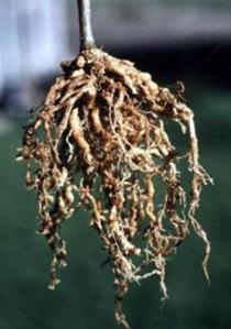 bengkak akar pada tanaman kol disebabkan oleh, bengkak akar pada tanaman tomat, bengkak akar pada kubis, bengkak akar tomat, bengkak pada akar gigi
