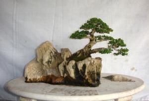 how to make bonsai, bonsai gallery, how to grow bonsai, bonsai drug, bonsai for sale, bonsai trees for sale