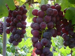 Meningkatkan Mutu Buah Anggur