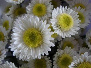 jenis bunga krisan, harga bunga krisan, arti bunga krisan, manfaat bunga krisan, budidaya bunga krisan, cara merawat bunga krisan, bibit bunga krisan, sejarah bunga krisan