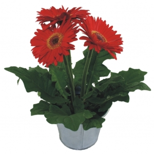 gerbera growing, gerbera plant, gerbera pronunciation, gerbera daisy care, gerbera meaning, gerbera seeds, gerbera care, gerbera annual or perennial