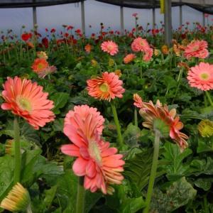 bunga gerbera, bunga gerbera daisy (aster), bunga gerbera pink, bunga gerbera sp