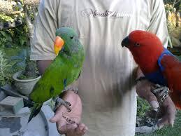 burung bayan pulling, burung bayan jantan, burung bayan untuk dijual suara burung bayan nuri, burung bayan tanau