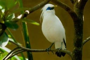 burung jalak kebo, suara burung jalak suren, harga burung jalak suren, suara burung jalak, burung jalak suren, burung jalak penyu, burung jalak kapas, burung jalak putih, burung jalak bali