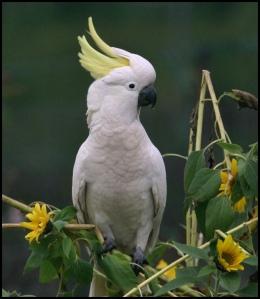 penangkaran burung kakaktua, burung kakatua mp3, harga burung kakatua, burung kakatua dijual, lagu burung kakatua, burung kakatua wikipedia, burung kakatua lyrics