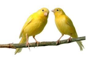 harga burung kenari, jenis burung kenari, download suara burung kenari, burung kenari f1, jual burung kenari, burung kenari isian, ternak burung kenari, burung kacer