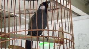 harga burung poksay, burung poksay mandarin jantan, suara burung poksay, suara burung poksay download, suara burung poksay full, burung poksay jambul