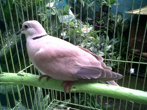burung tekukur, tekukur, burung puter, burung putar