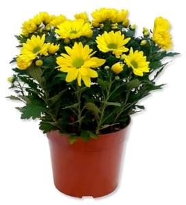 sejarah bunga krisan, cara merawat bunga krisan, arti bunga krisan, jenis bunga krisan, bibit bunga krisan, budidaya bunga krisan, manfaat bunga krisan, harga bunga krisan