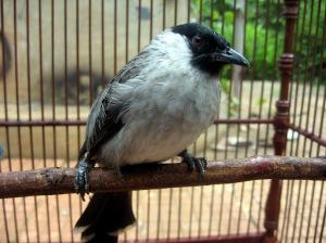 suara burung kutilang mp3, harga burung kutilang, burung kutilang emas lagu burung kutilang, burung kutilang mp3, suara burung kutilang