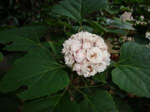 clerodendrum philippinum cashmere bouqet, clerodendrum chinense, clerodendrum fragrans pleniflorum, clerodendrum volkameria fragrans, chinese glory bower