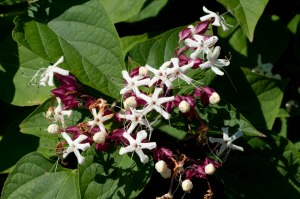 clerodendrum trichotomum carnival, clerodendrum trichotomum var. fargesii, clerodendrum trichotomum purple blaze, clerodendrum trichotomum for sale, clerodendrum trichotomum variegata