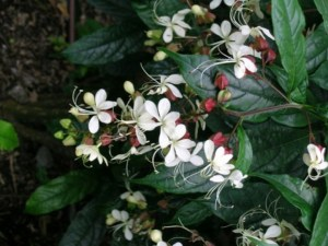 clerodendrum nutans, nodding clerodendrum, clerodendron, glory bower plant, lerodendrum wallichii sale
