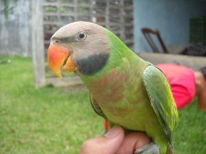 harga burung betet, burung betet murah, suara burung betet download, burung betet jawa, burung nuri, jual burung betet