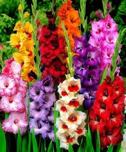 gladiola flower, gladiola pictures, gladiola photos, gladiola bulbs, gladiola tattoos, gladiola elementary, gladiola star 4*, gladiola gardenia