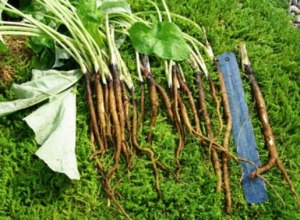 gobo root, gobo root nutrition, burdock root, gobo vegetarian, burdock root vegetable, burdock vegetable, edible burdock, burdock root preparation