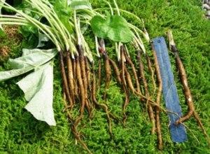 gobo root, gobo root nutrition, burdock root, gobo vegetarian, burdock root vegetable, burdock vegetable, edible burdock, burdock root preparation