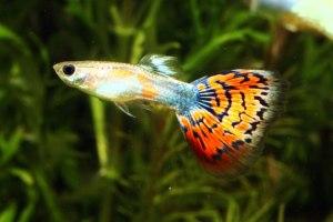 jenis ikan guppy, cara bela ikan guppy, ikan guppy bertelur, berapa lama ikan guppy bunting, harga ikan guppy, ikan guppy cara memelihara, ikan guppy wikipedia