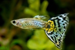 guppy fish life span, guppy fish pictures, guppy fish breeding, guppy fish for sale, guppy fish care, ikan guppy import, guppy fish diseases, fancy guppies, pregnant guppy fish