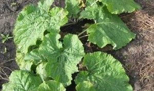 budidaya tanaman gobo burdock, tanaman gobo atau tanaman burdock, khasiat tanaman gobo, manfaat tanaman gobo, tanaman obat gobo, harga tanaman gobo