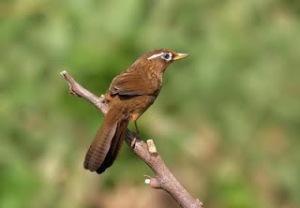 harga burung hwa mei, suara burung hwa mei, burung hwa mei mp3, kicau burung hwa mei, video burung hwa mei